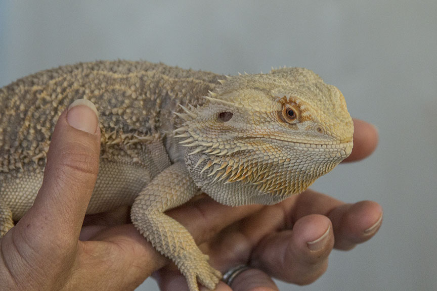 Bearded dragon joins the ed team
