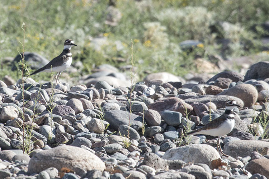 Watchful killdeer parents